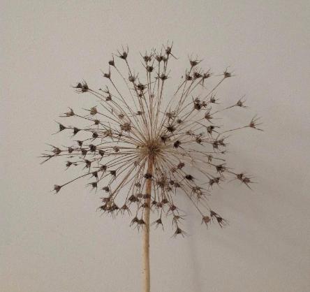 Allium Naturel-1