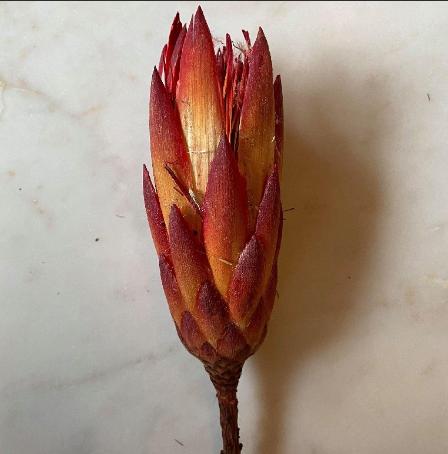 Protea Rood-1
