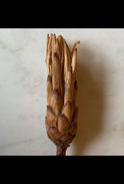 Protea Beige