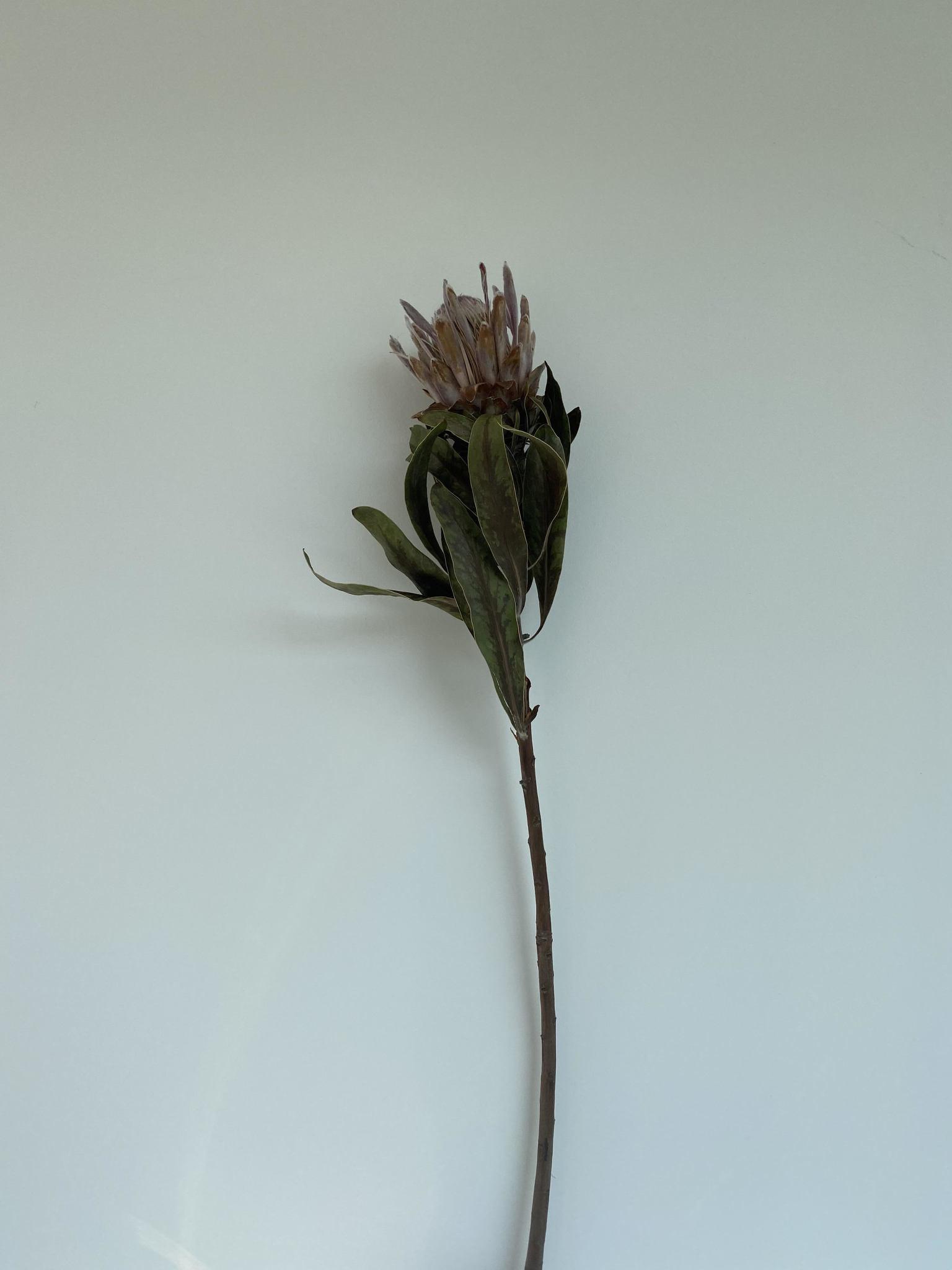 Protea Groot-1