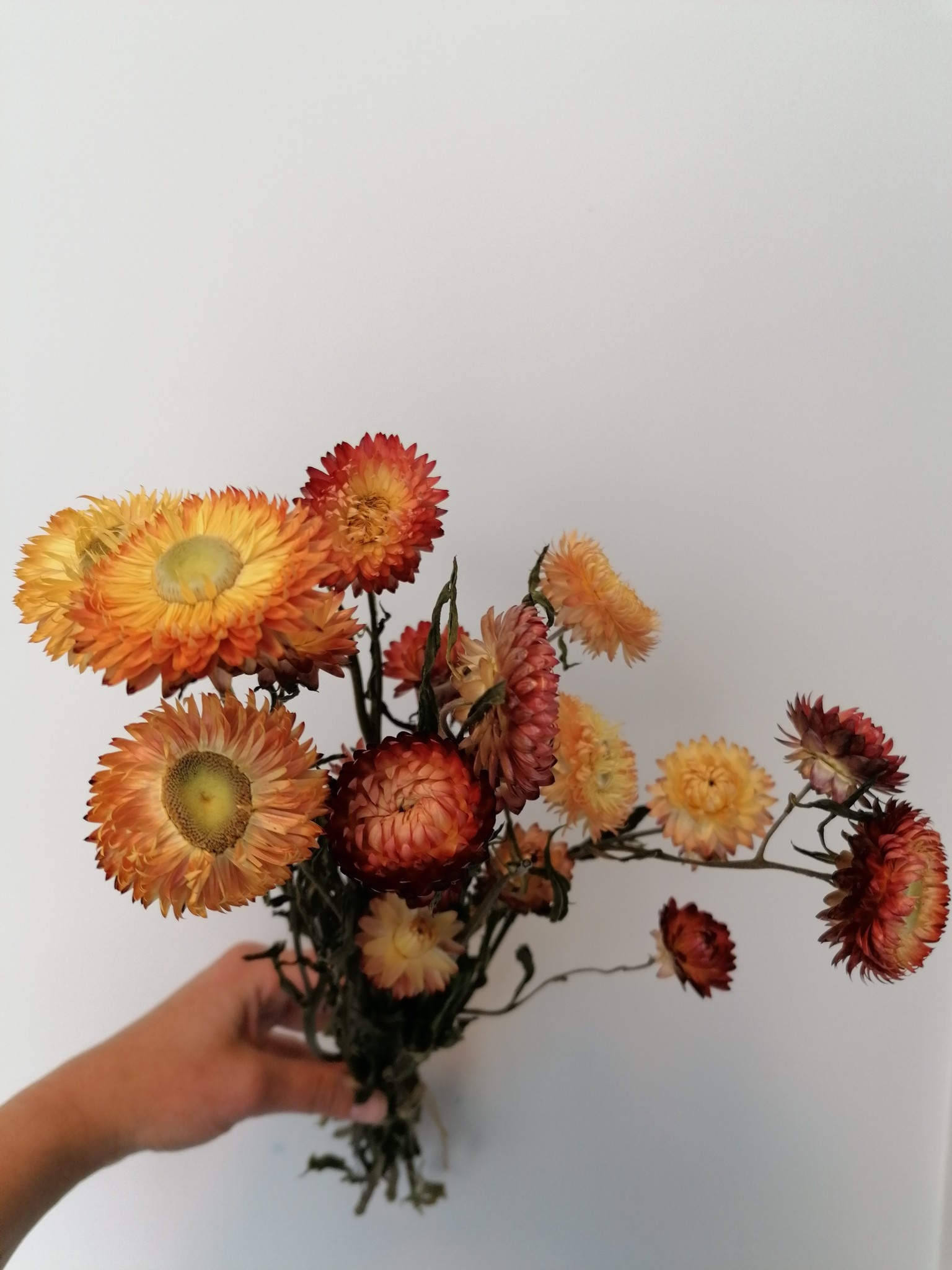 Bussel Helichrysum-2