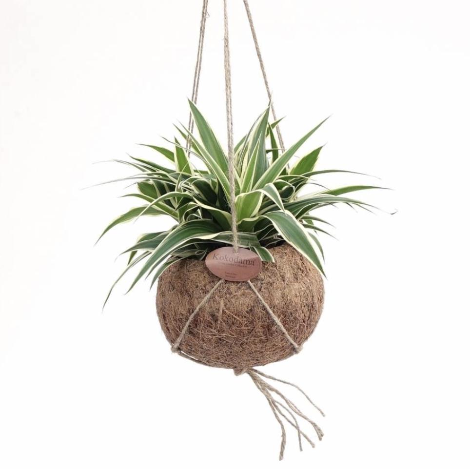 Hangplant Graslelie-1