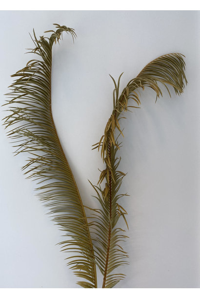 Gedroogd Palmblad Lang