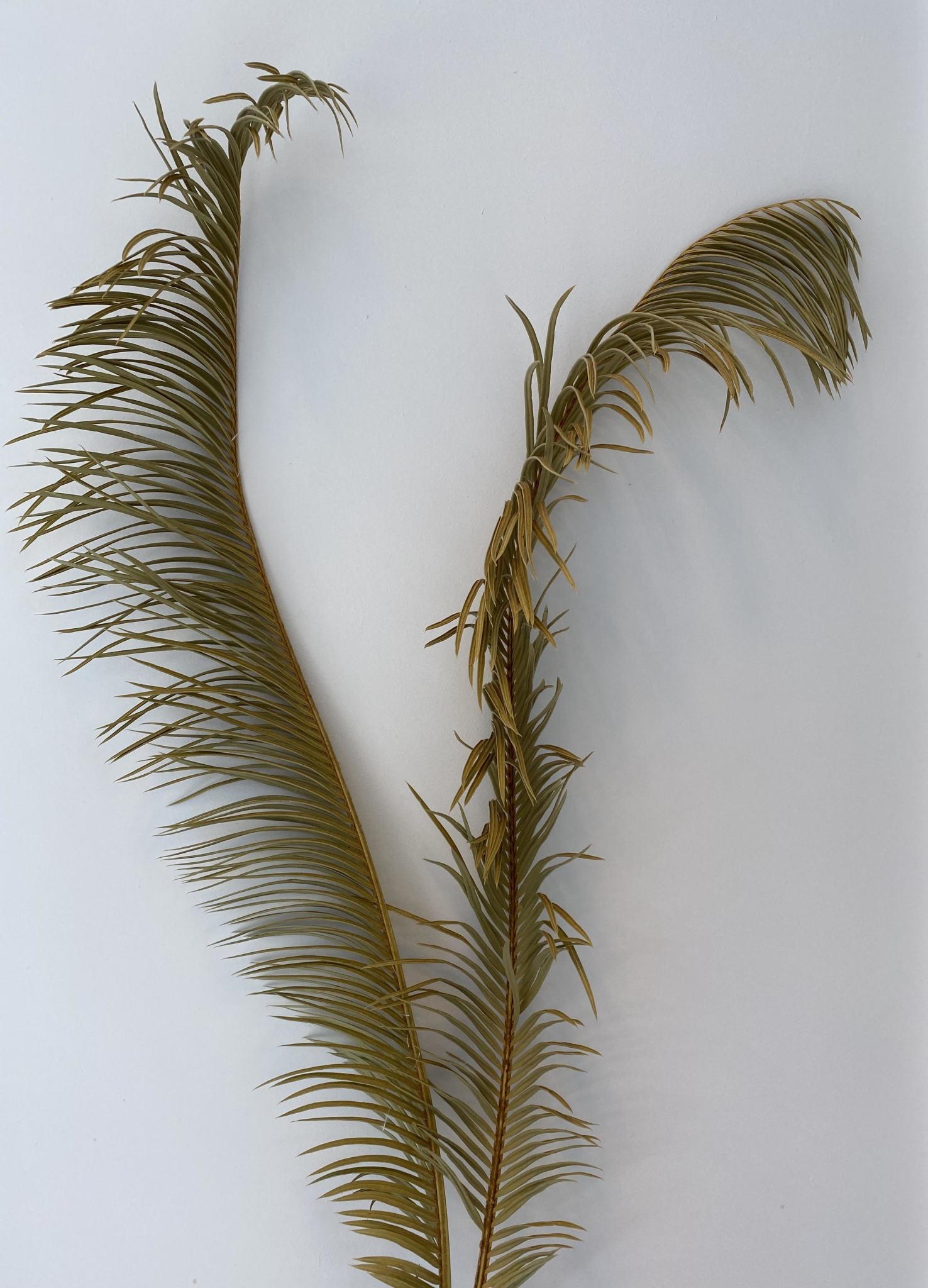 Gedroogd Palmblad Lang-2