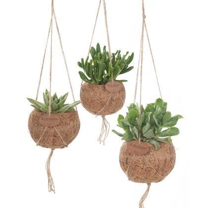 Hangplant Vetplant - Crassula Hobbit-3