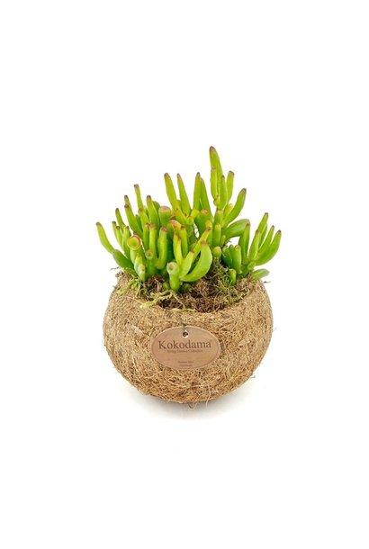 Hangplant Vetplant - Crassula Hobbit