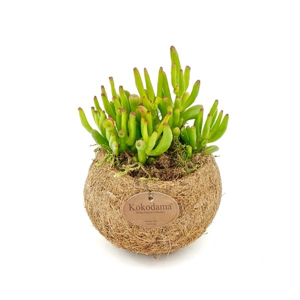 Hangplant Vetplant - Crassula Hobbit-1