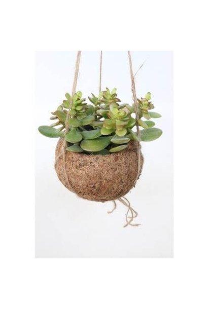 Hangplant Vetplant - Crassula Ovata Druce