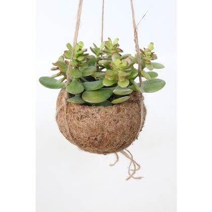 Hangplant Vetplant - Crassula Ovata Druce-1