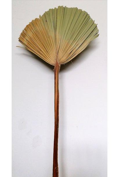Gedroogd Palmblad Groot