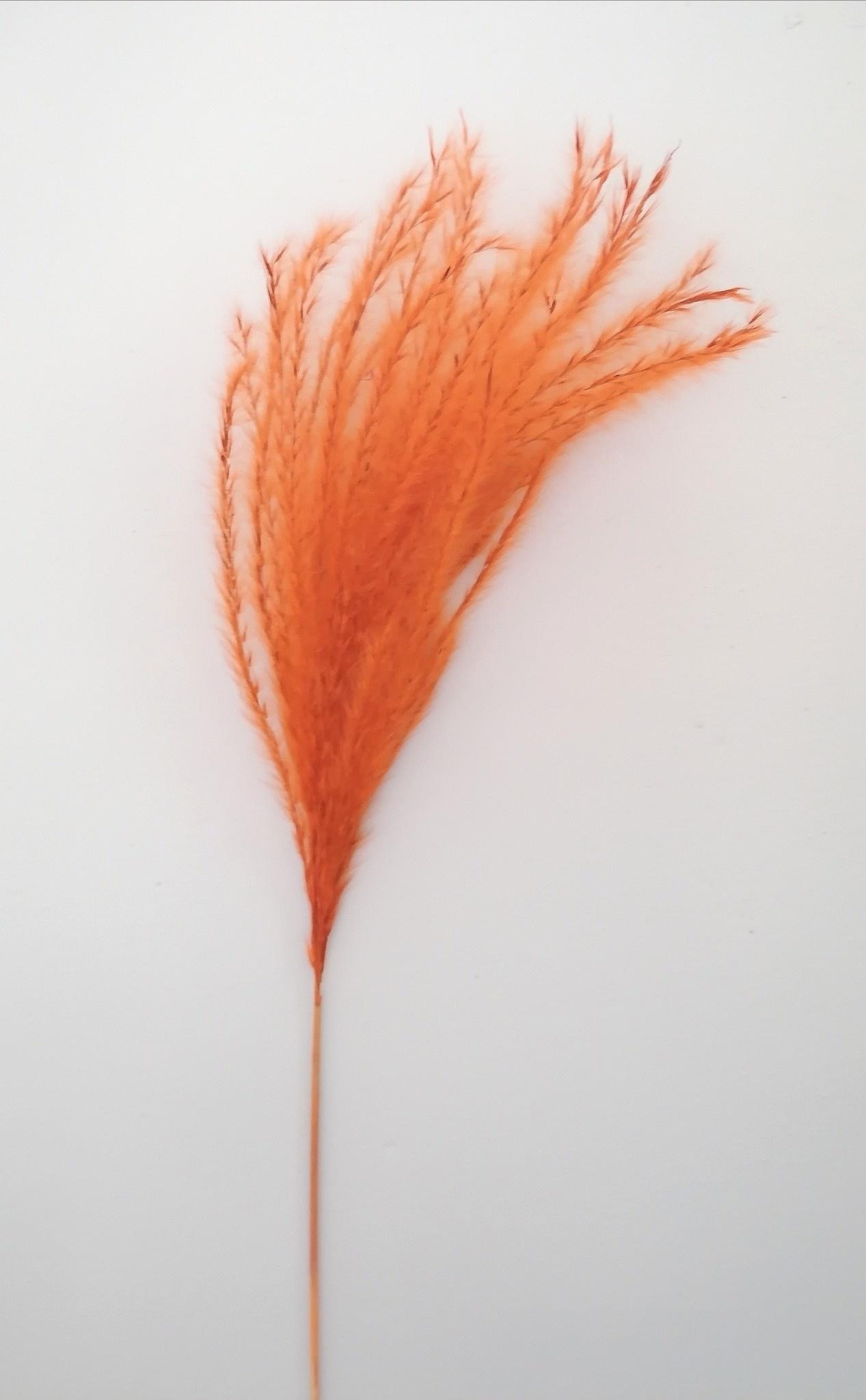 Miscantus Oranje-2