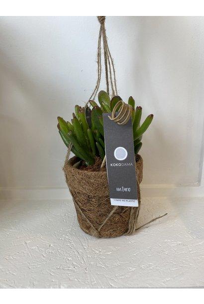 Hangplant - Crassula