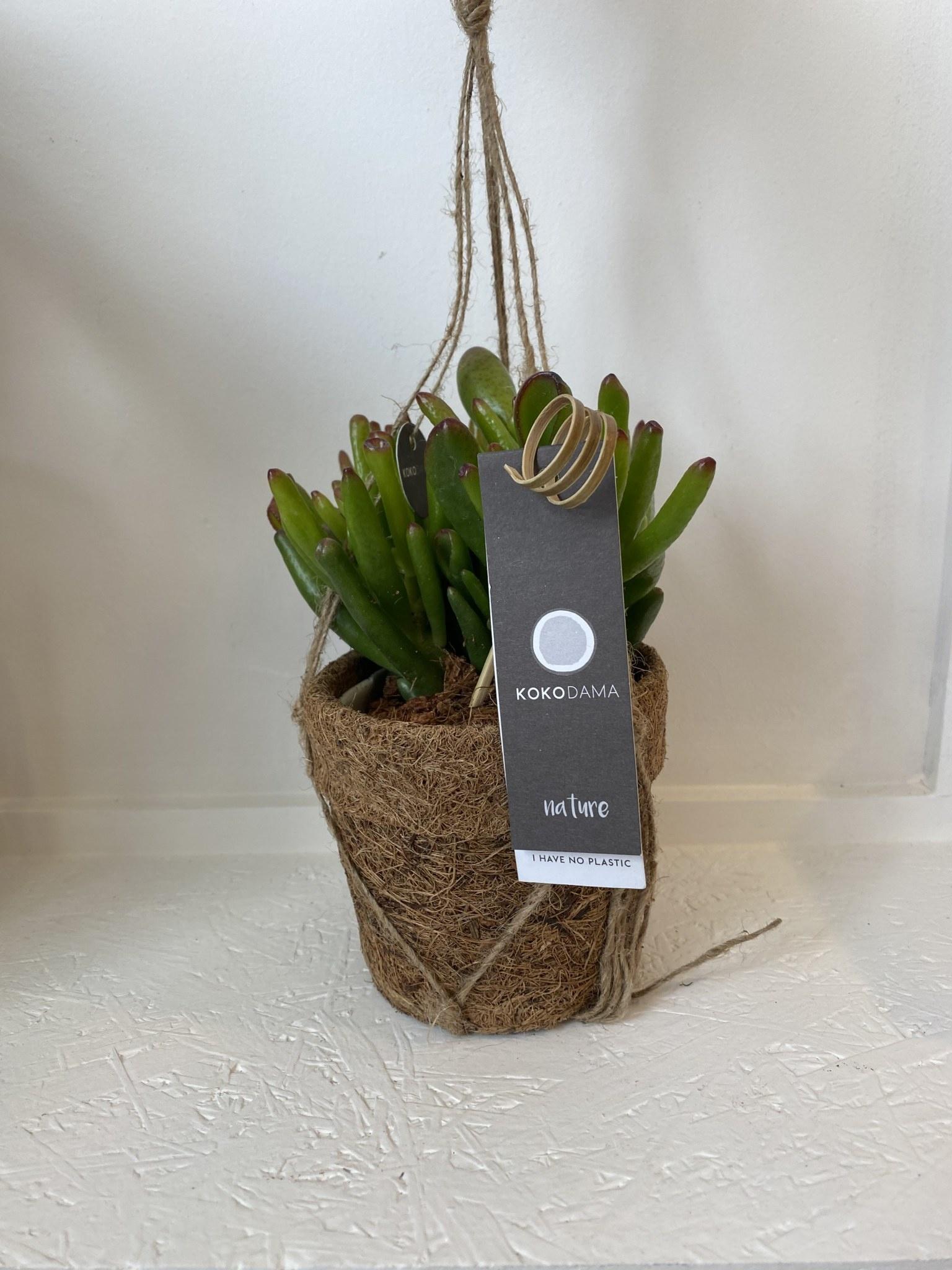 Hangplant - Crassula-1