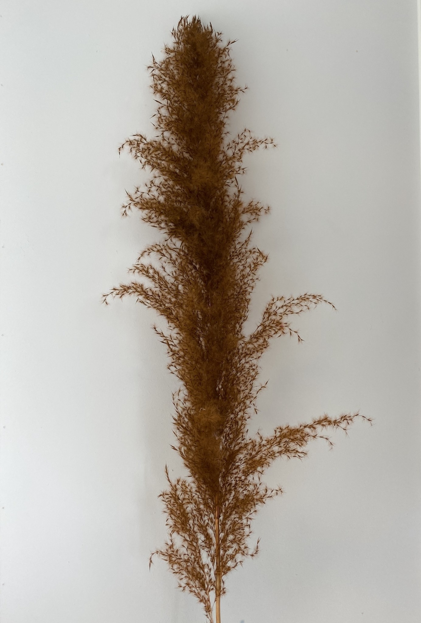 Pampas Chocoladebruin-1