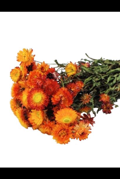 Bussel Helichrysum