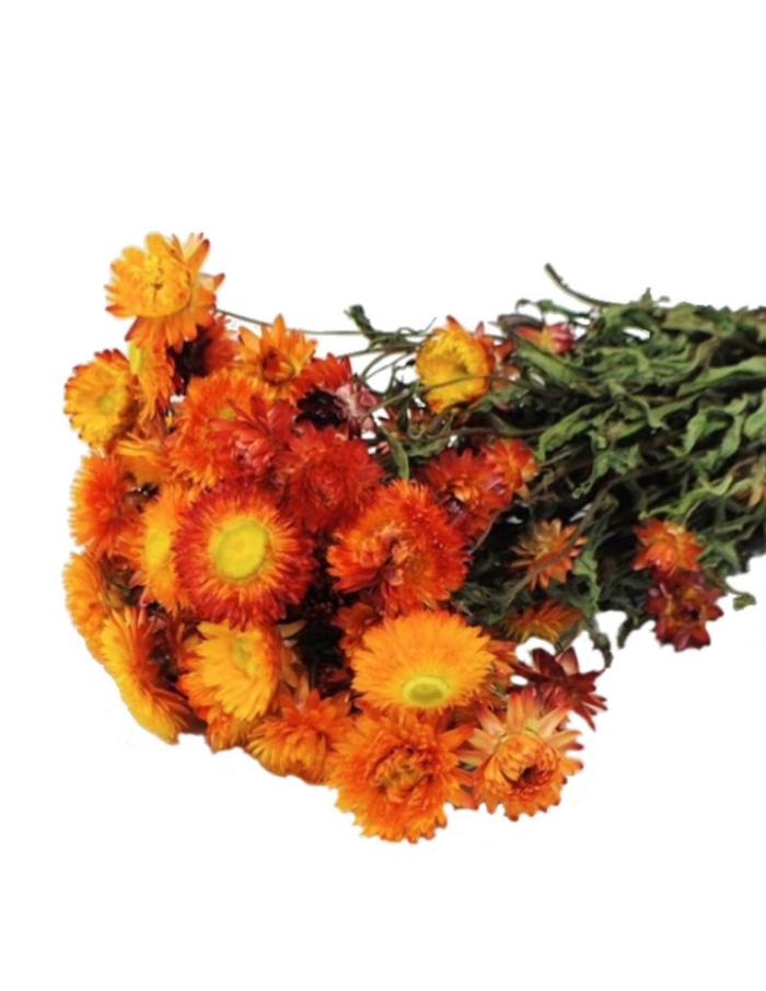 Bussel Helichrysum-1