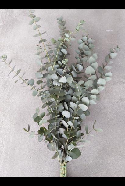 Bussel Eucalyptus