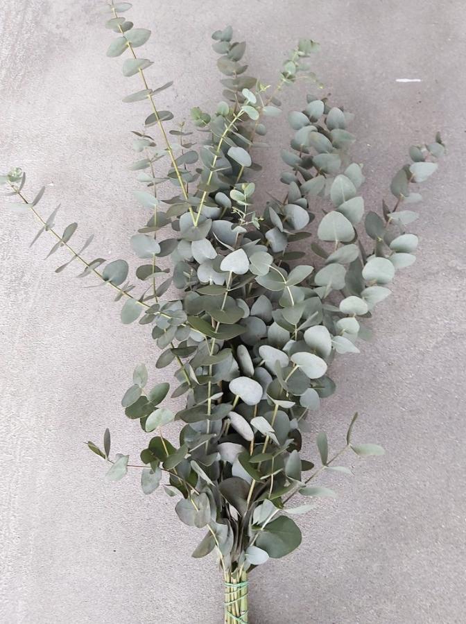 Bussel Eucalyptus-1