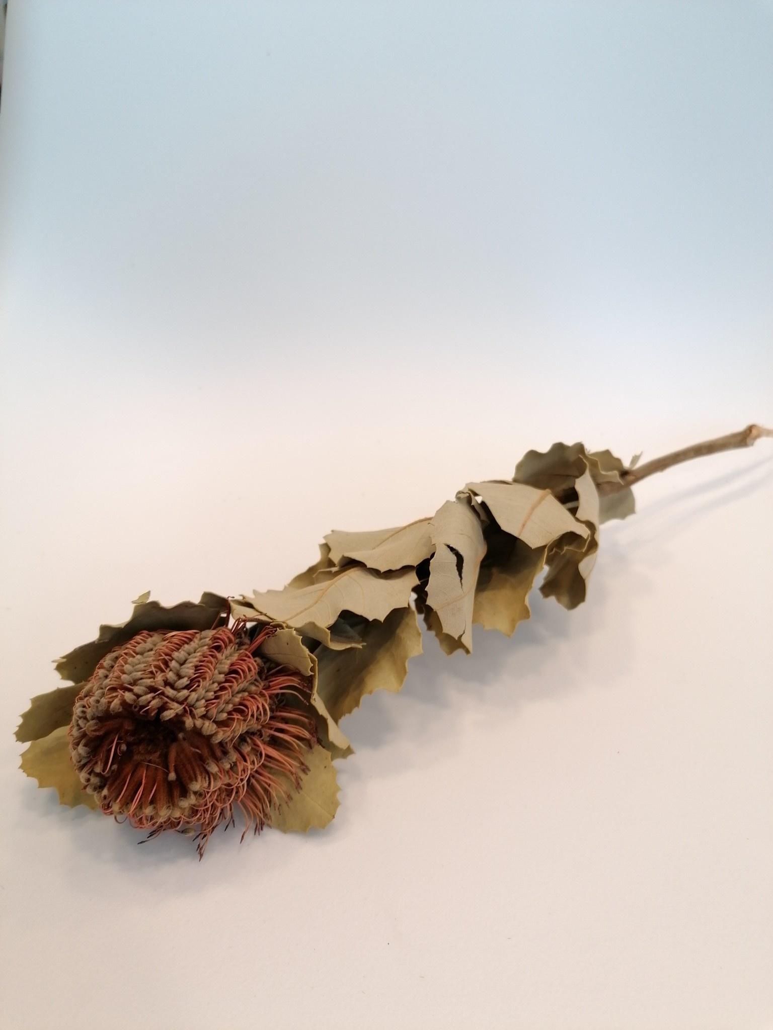 Banksia Coccinea-1