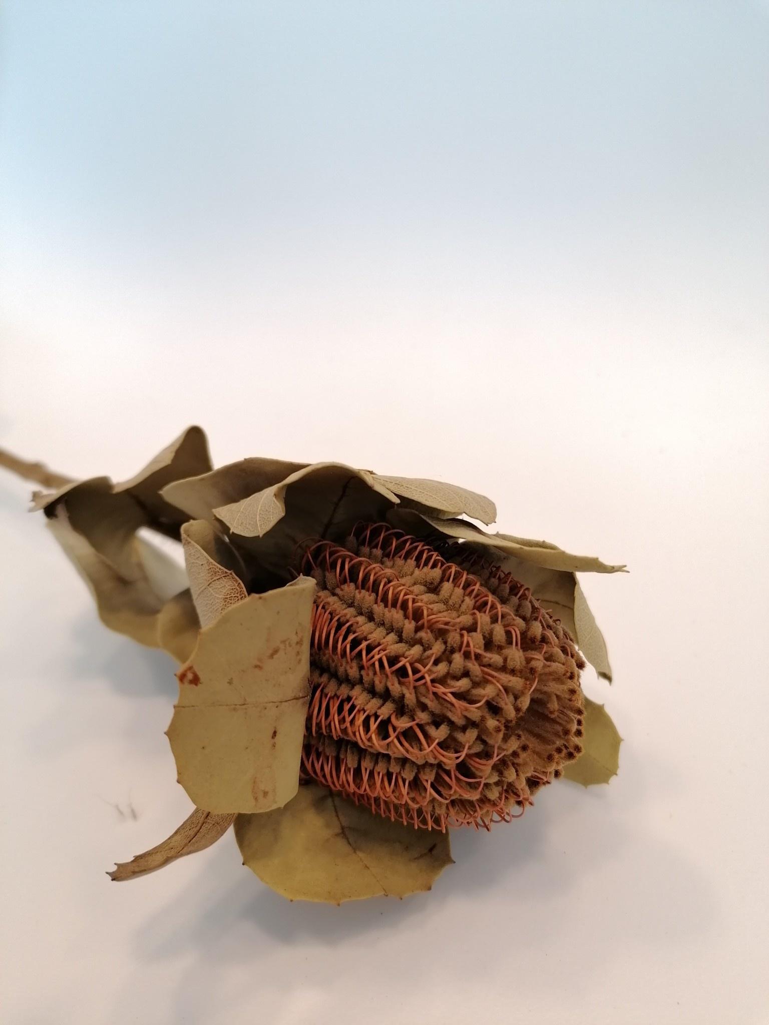 Banksia Coccinea-2