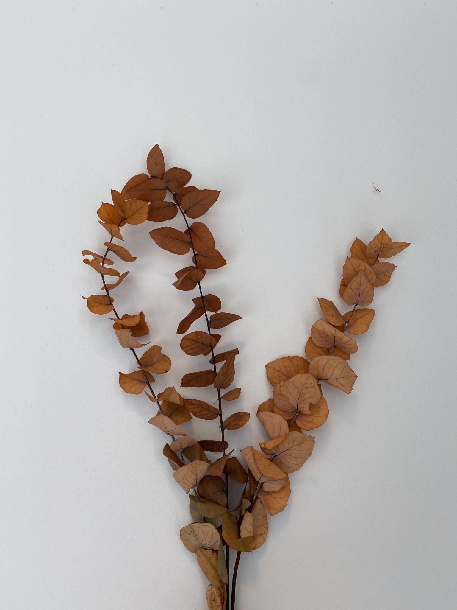 Eucalyptus Tak Groot Herfst-1