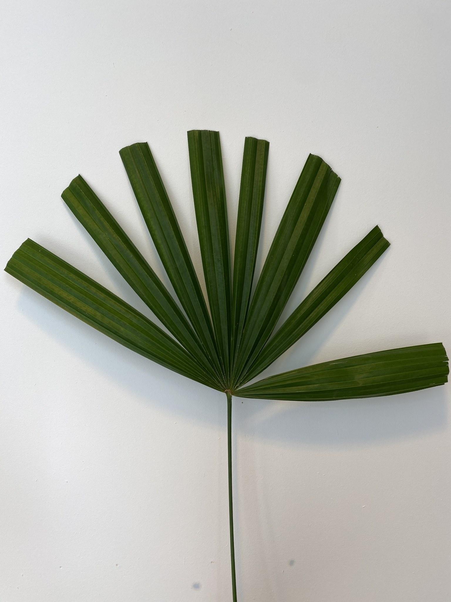 Gedroogd Palmblad Kort-1