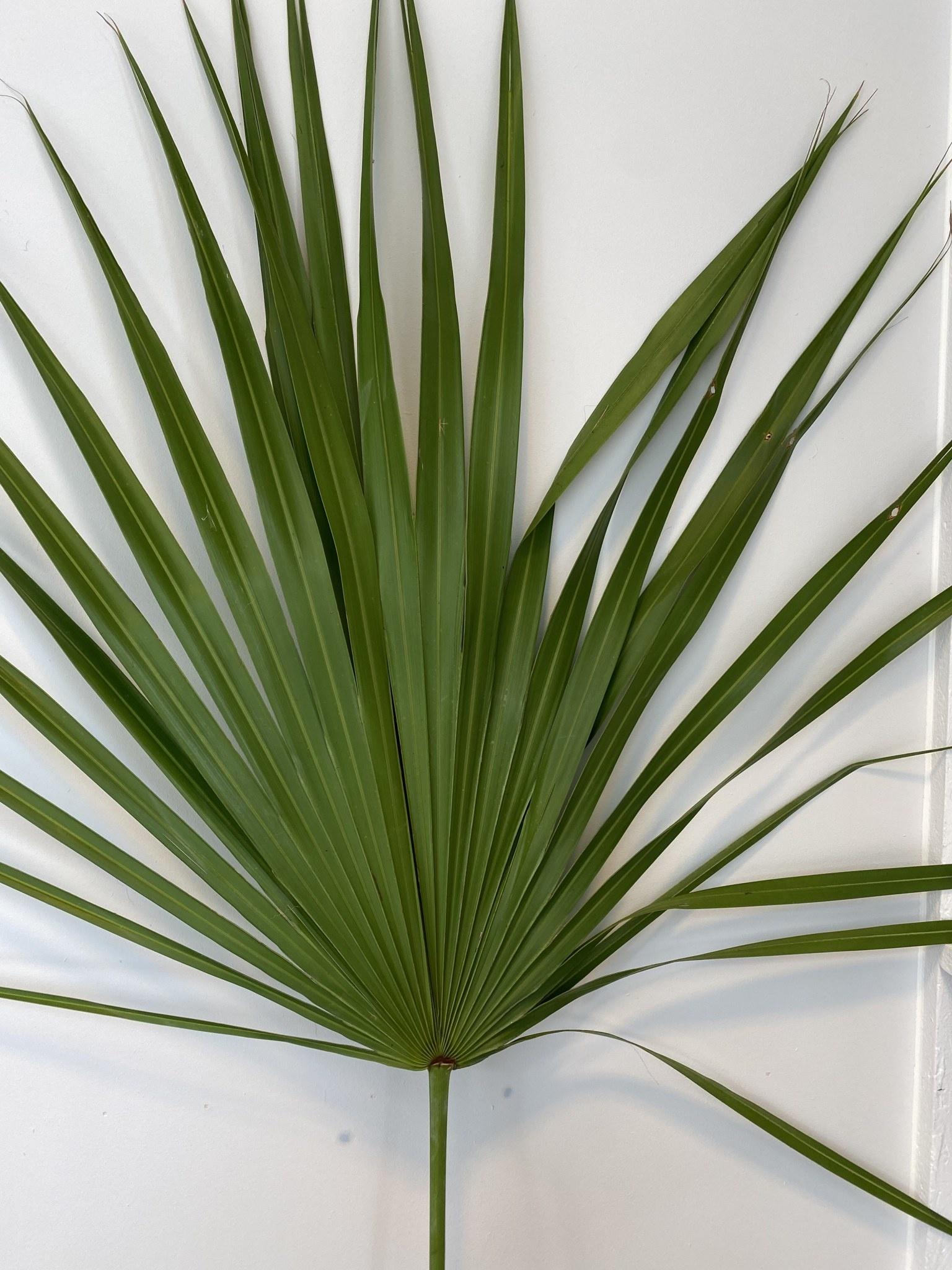 Gedroogd Palmblad-1