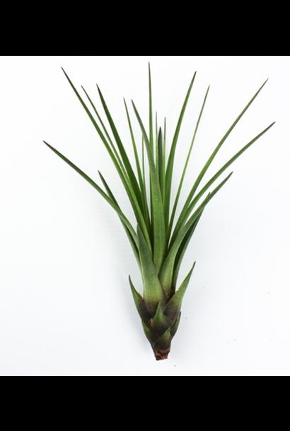 Luchtplantje Tillandsia Melanocrater Groen