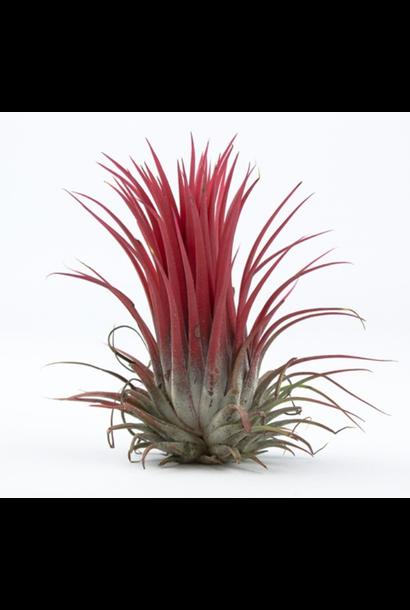 Luchtplantje Tillandsia Melanocrater Rood