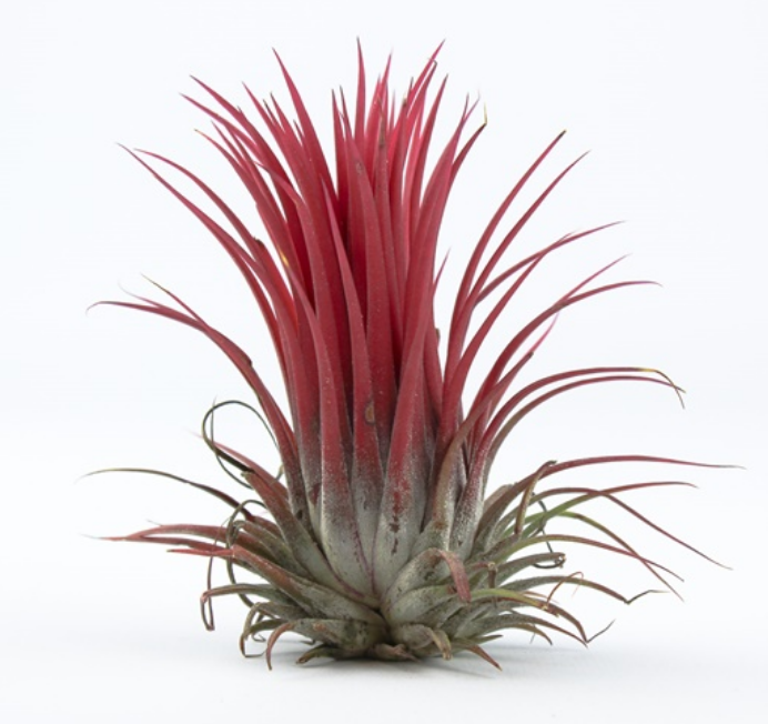 Luchtplantje Tillandsia Melanocrater Rood-1