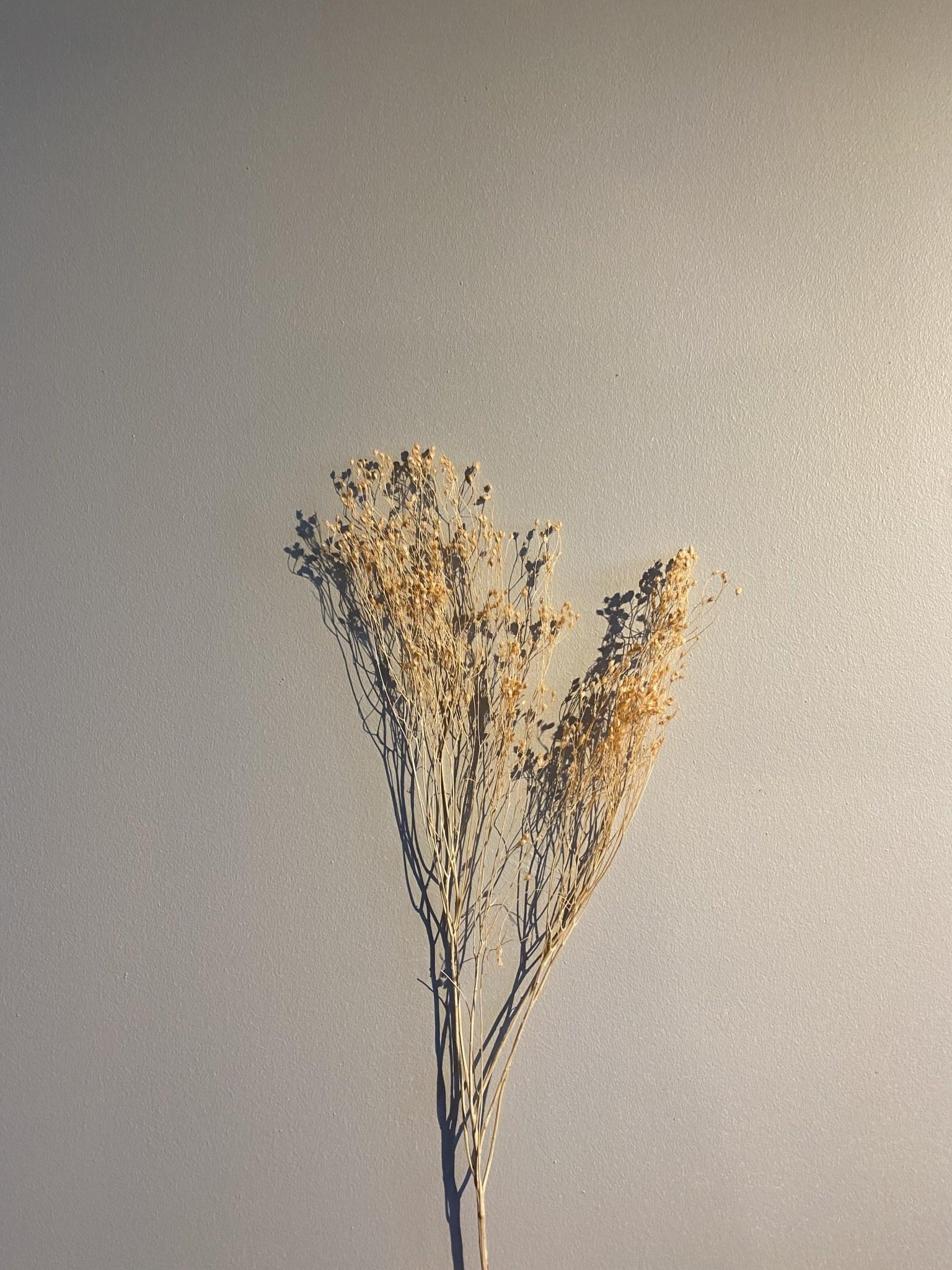 Broom Zalmroze-1
