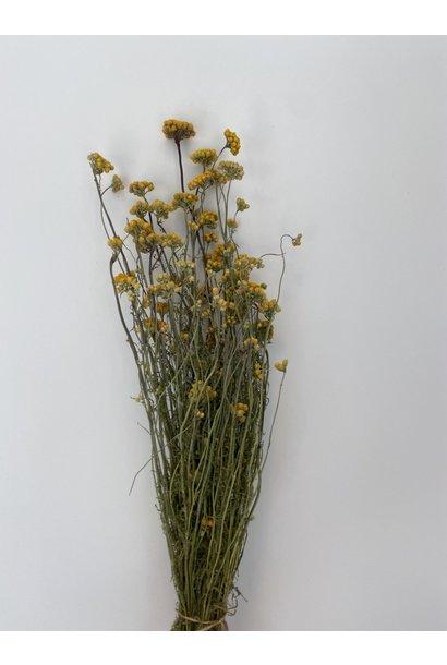 Bussel Kerrieplant