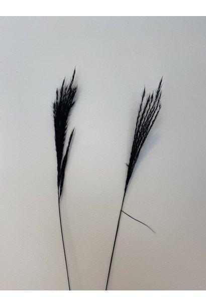 Miscantus Zwart