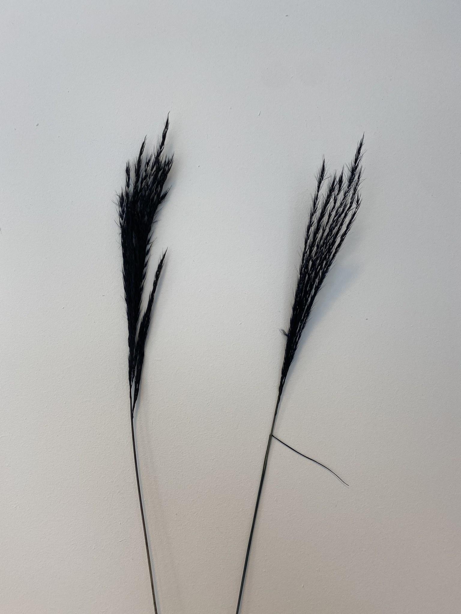 Miscantus Zwart-1