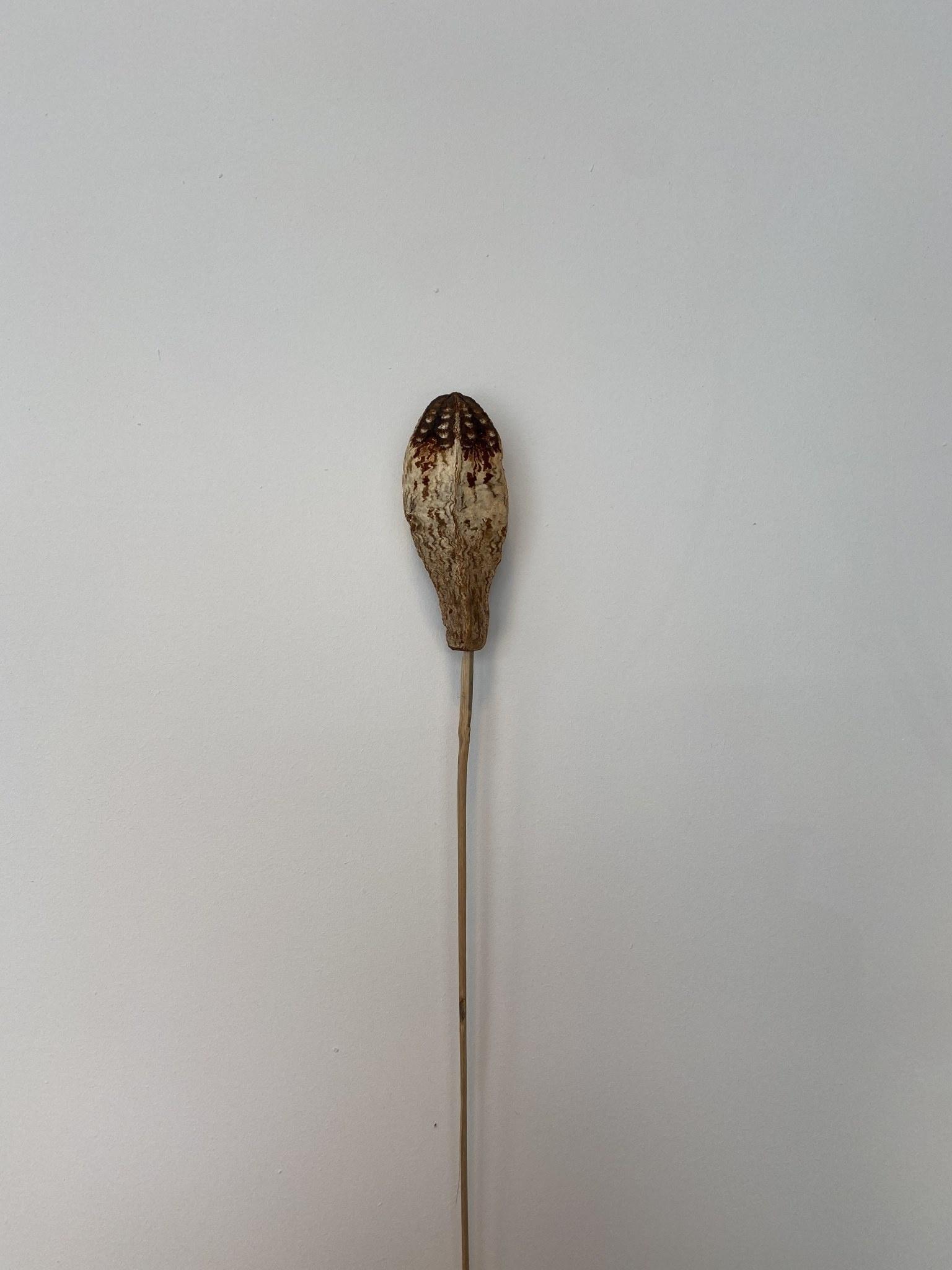 Mehogni Gedroogd Naturel-1