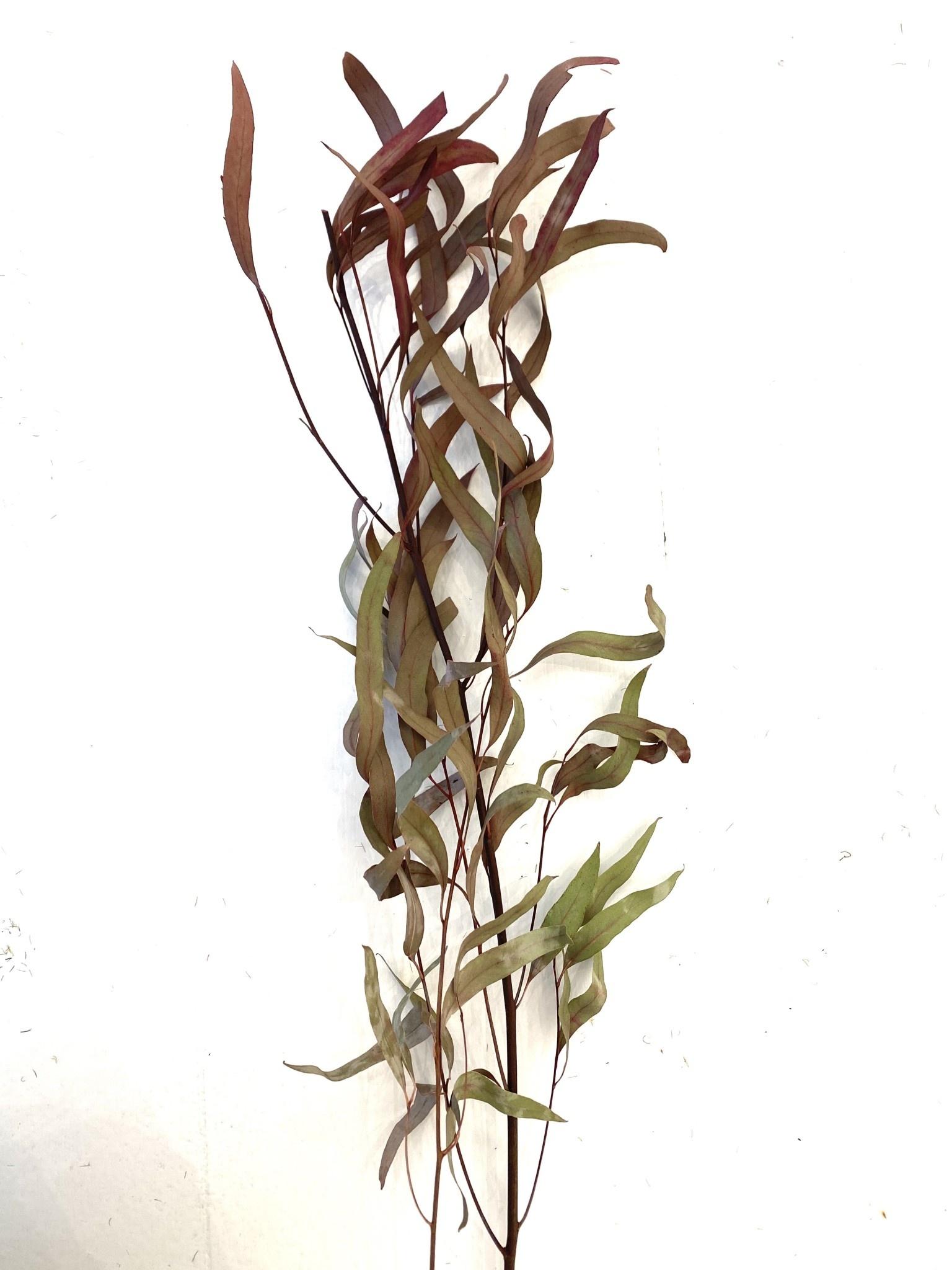 Eucalyptus Tak Fijn Klein-1
