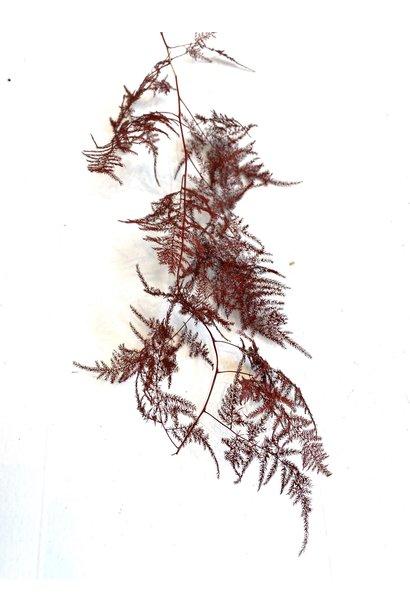 Tak Asparagus Bordeaux