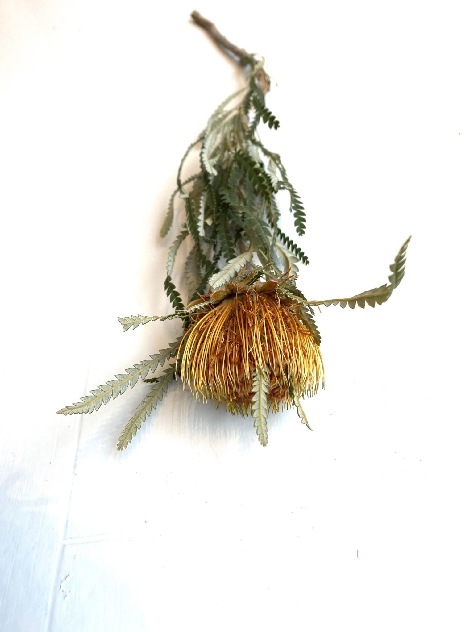 Banksia Dryandra-1