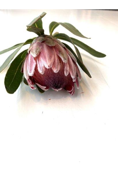 Protea Roze