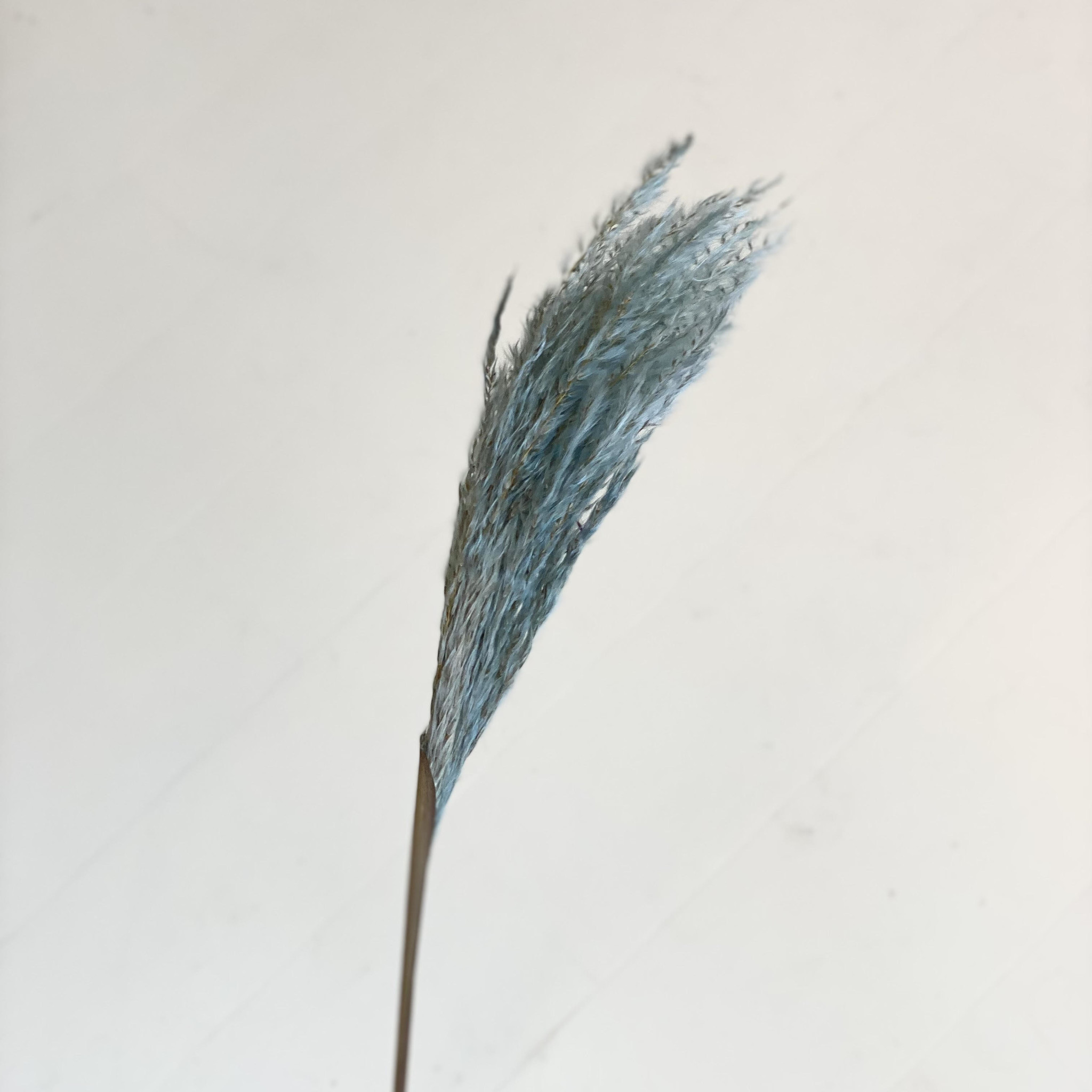 Miscantus Blauw-1