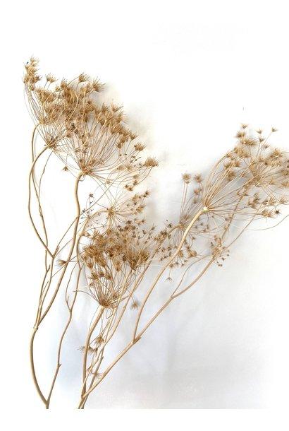 Flowerbar - Lace-Cap Beige