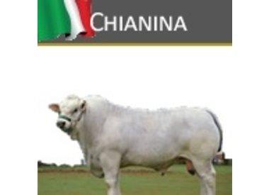 Italiaanse Chianina