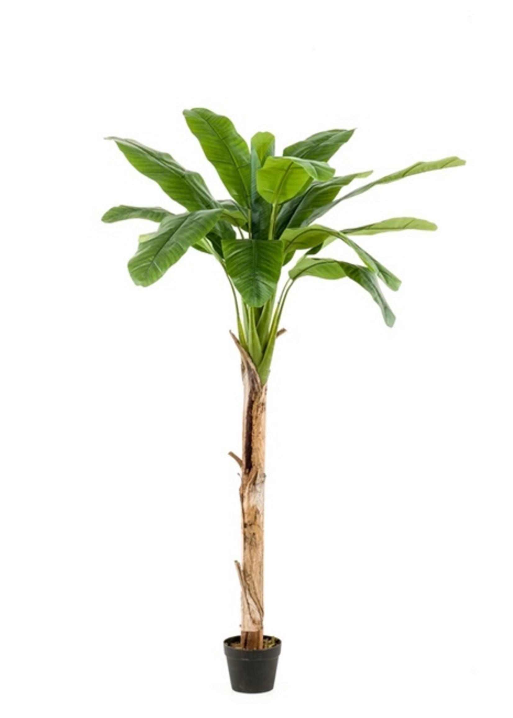 Emerald Eternal Green Banana tree 180