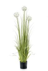 Emerald Eternal Green Allium grass flowers x3 orange 75cm