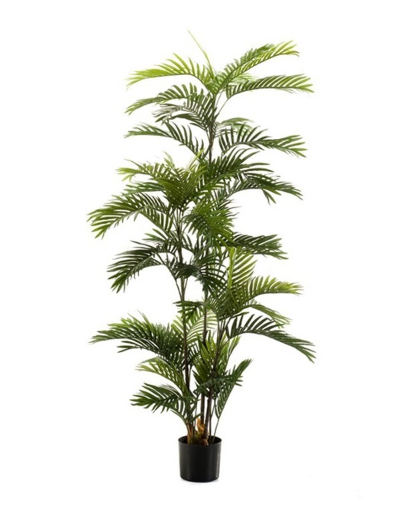 Emerald Eternal Green Phoenix palm 180cm