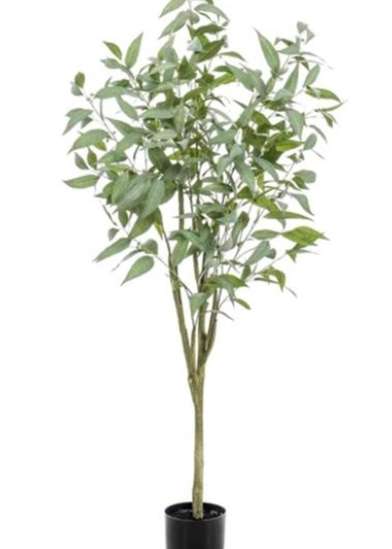 Emerald Eternal Green Eucalyptus globulus tree 150cm