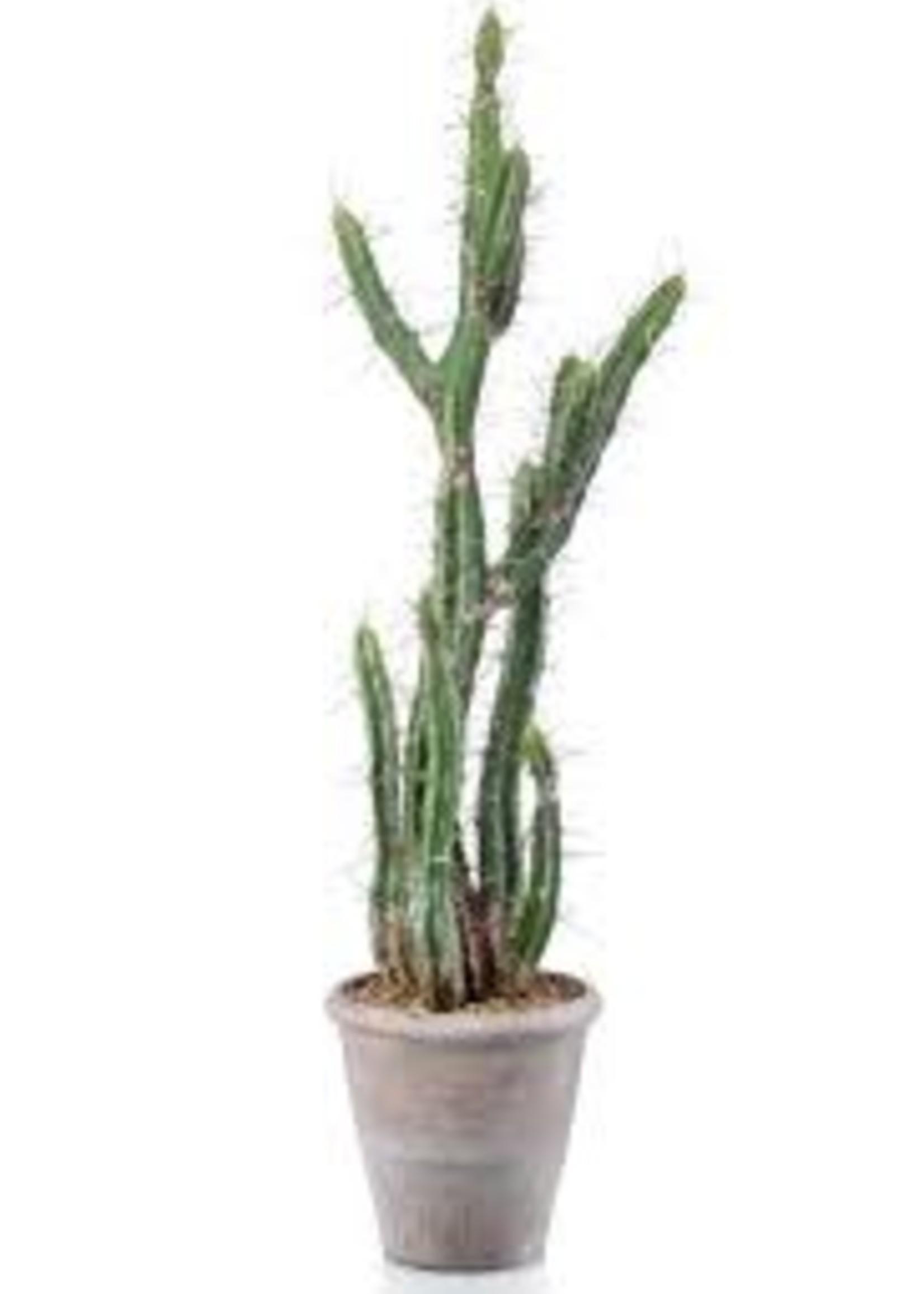 Emerald Eternal Green Cactus stetsonia in grey pot 100cm
