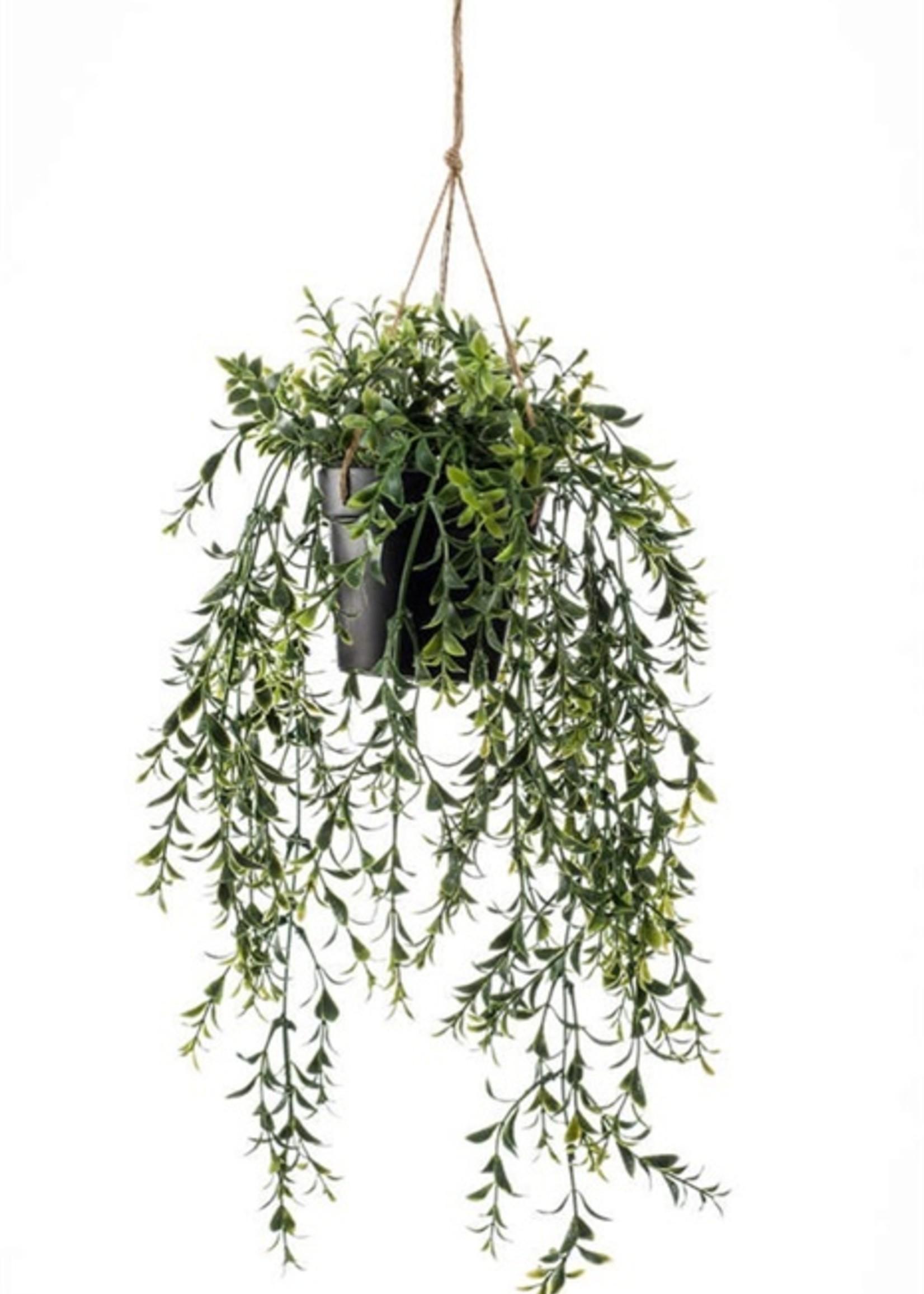Emerald Eternal Green Boxwood hanging 50cm in pot