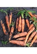 Wortel Ami zomerwortel - Daucus carota