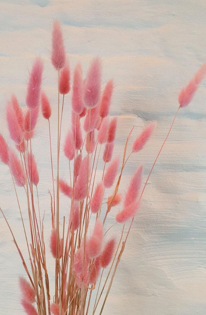 Lagurus dryflower Powder Rose-2